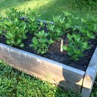 Indigo Plants